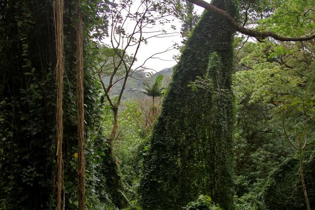 Manoa Falls Forest