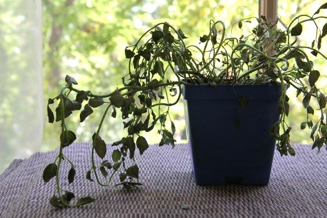 Dead Mint Plant