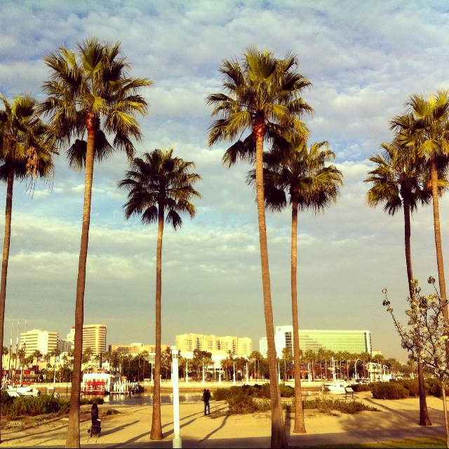 Long Beach Palms
