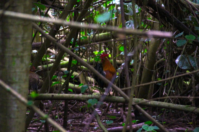 Rainforest Rooster