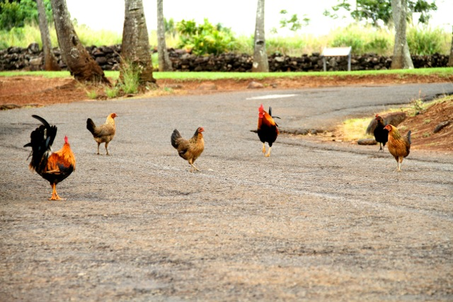Wild Chicken Flock