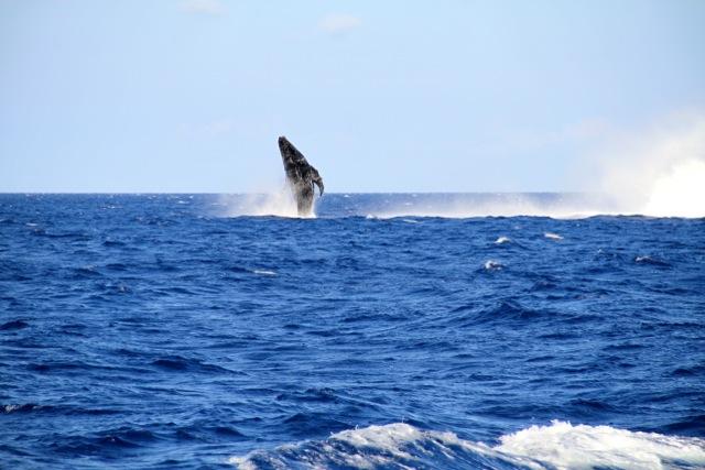 Humback Whale4