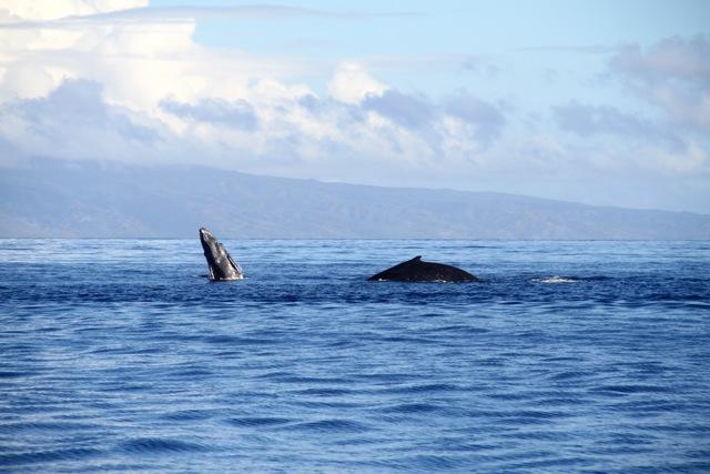 Humback Whale5