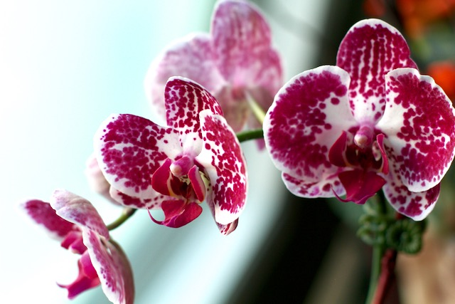 Birthday Orchids