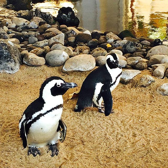 Maui Penguins
