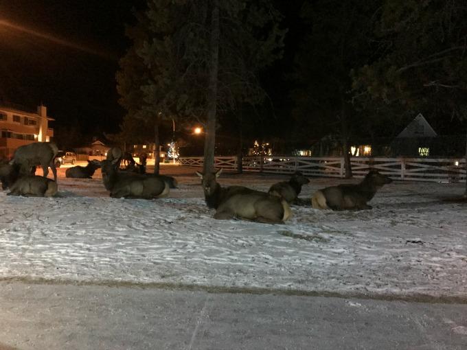 Elk Just Chilling