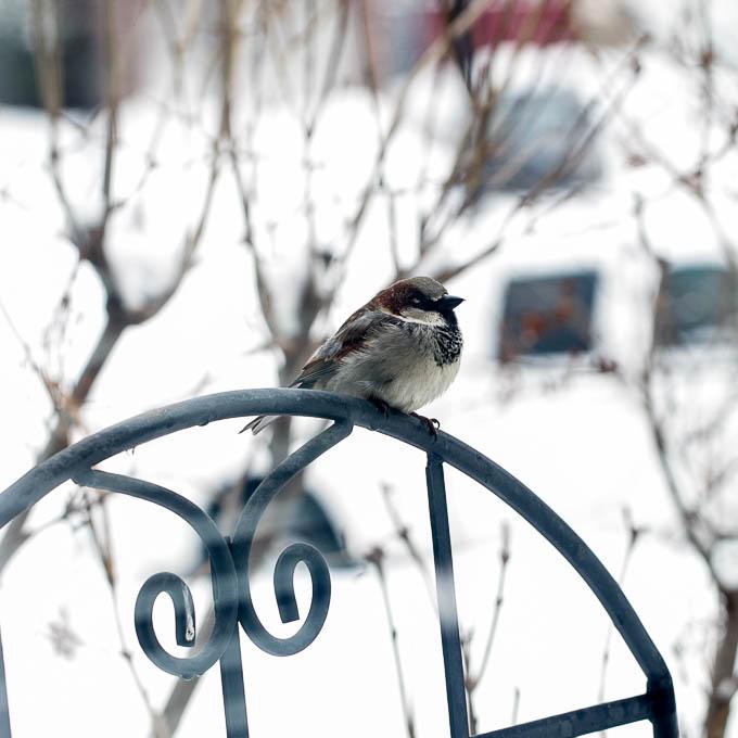 Chubby Sparrow
